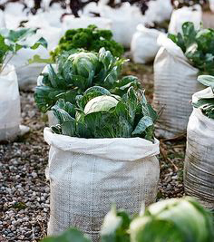 Picturesque  Perfect Vegetables You Can Grow Through The Winter  Whinnypoo With Engaging Sack Garden With Cute Moroccan Covent Garden Also Highfield Garden Centre Gloucester In Addition Water Garden Fort Worth And Son Bou Gardens Apartments As Well As Garden Trading Compost Bin Additionally Miracle Garden In Uae From Whinnypoocom With   Engaging  Perfect Vegetables You Can Grow Through The Winter  Whinnypoo With Cute Sack Garden And Picturesque Moroccan Covent Garden Also Highfield Garden Centre Gloucester In Addition Water Garden Fort Worth From Whinnypoocom